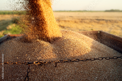 Wheat field, loading at trailer.