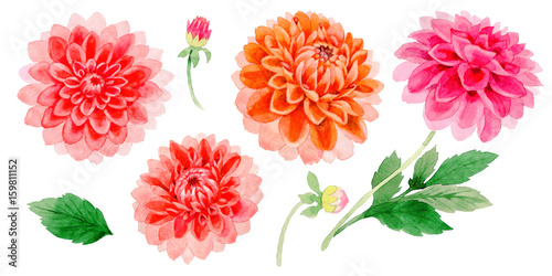 Valokuva Wildflower dahlia flower in a watercolor style isolated.