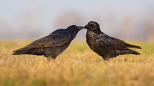 Pair Of Common Ravens Kiss And...