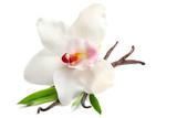 Dried vanilla sticks and flower on white background, closeup