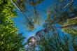 Blick durch die dichten Baumkronen von Föhren und Birken