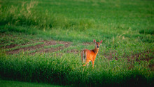 A White Tailed Deer Standing In The Grass Field Looking Backwards During A Soft, Golden Sunrise.