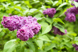 Lilac flowers in the garden