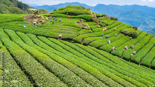 Photo  The workers collect tea leaves in the Tea plantation on a good day