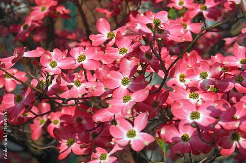 Flowering Dogwood (Cornus florida). Called American Dogwood and Eastern Dogwood also. State tree of North Carolina, West Virginia, Missouri and ... See More
