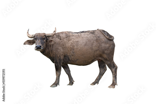 Thai buffalo with mud on body on white background,happy,dirty,looking,life of buffalo at countryside