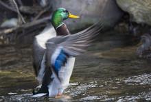 Male Mallard Duck Flapping It's Wings