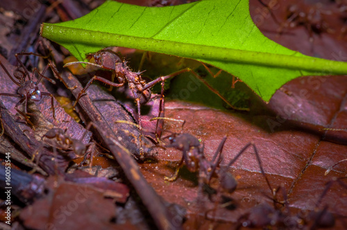 Small red ants cutting tree leafs, on the ground inside the forest in Cuyabeno N Canvas Print
