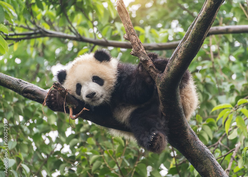 Deurstickers Panda Giant panda baby over the tree.