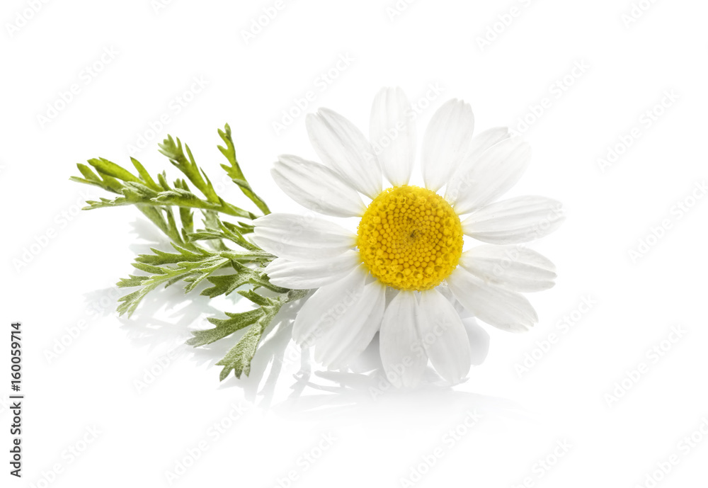 Fototapety, obrazy: Beautiful chamomile flower on white background