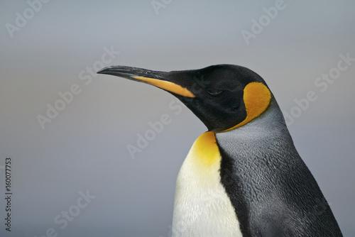 La pose en embrasure Pingouin King Penguin (Aptenodytes patagonicus)