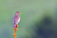 Song Thrush (Turdus Philomelos...