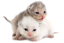 Two Newborn Kitten Isolated On...