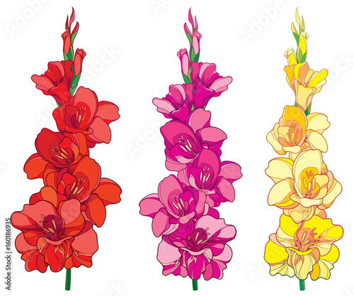 Cuadros en Lienzo Vector set with red, pink and yellow Gladiolus or sword lily flower bunch isolated on white background