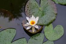 Water Lily (Nymphaea Tetragona)