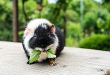 Guinea Pig / Cute, Black And ...