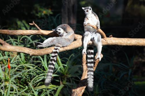 Valokuva  Two Tailed lemurs  (Lemur catta) sitting on a branch