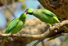 Parakeets Romancing In Bharatpur