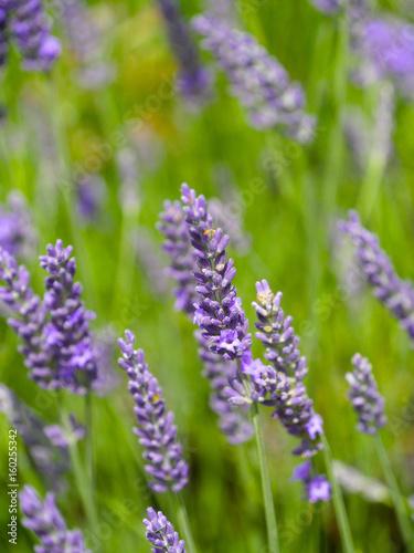 Tuinposter Lavendel lavande très gros plan