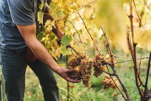 Fotografía  Grape harvest in the Tuscan hills.