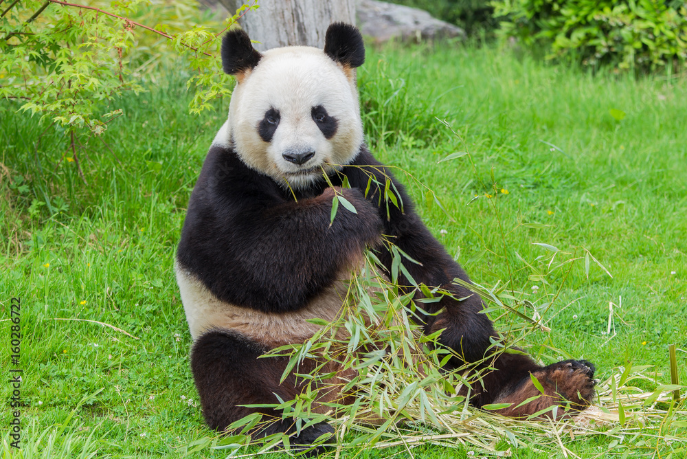 Giant panda sitting and eating bamboo