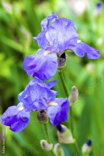 Foto op Canvas Iris Blue iris flowers on green garden background