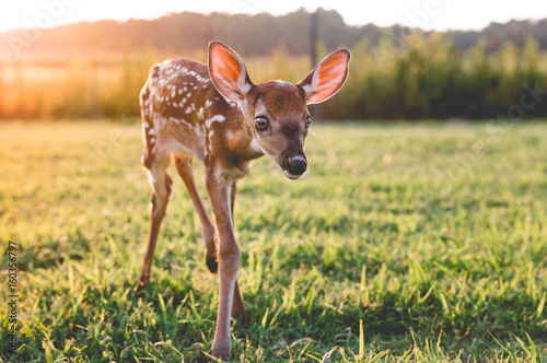 Orphaned Fawn Wallpaper Mural