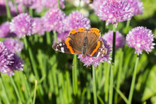 Red Admiral Butterfly On Chive Blossom, Dorsal, Macro