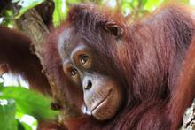 Thinking Orangutan In Borneo F...