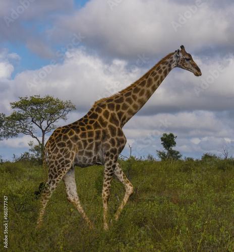Poster Giraffe Giraffe and Sabi Sand 0002-A giraffe walking in the nature reserve.