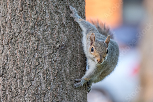 Spoed Foto op Canvas Eekhoorn Gray squirrel on a tree