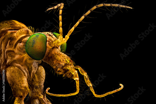 Extreme macro - Green eyed crane fly, magnified through a microscope objective