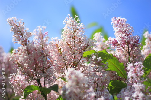 Foto op Plexiglas Magnolia Lilac Bush flowers on sky background