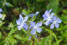 Phlox Divaricata Or The Wild B...