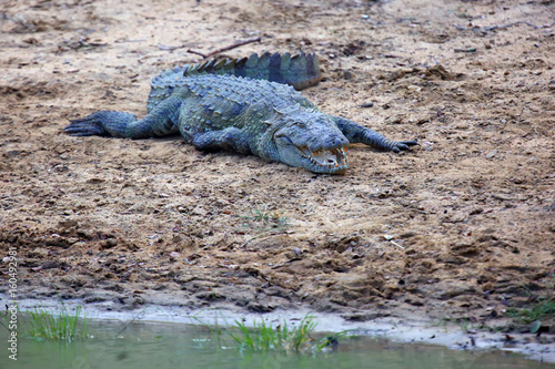 The mugger crocodile (Crocodylus palustris), also called the Indian, Indus, Persian, Sindhu, marsh crocodile or simply mugger on the shore of lake