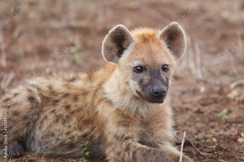 In de dag Hyena The spotted hyena (Crocuta crocuta), also known as the laughing hyena, young individual portrait
