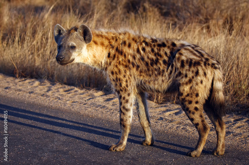 Foto op Aluminium Hyena The spotted hyena (Crocuta crocuta), also known as the laughing hyena standing on the road in national park