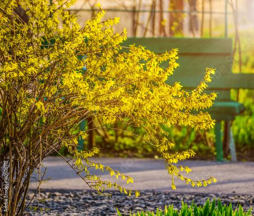 Fotografia Bush of yellow forsythia flowers against the wall with window and bench