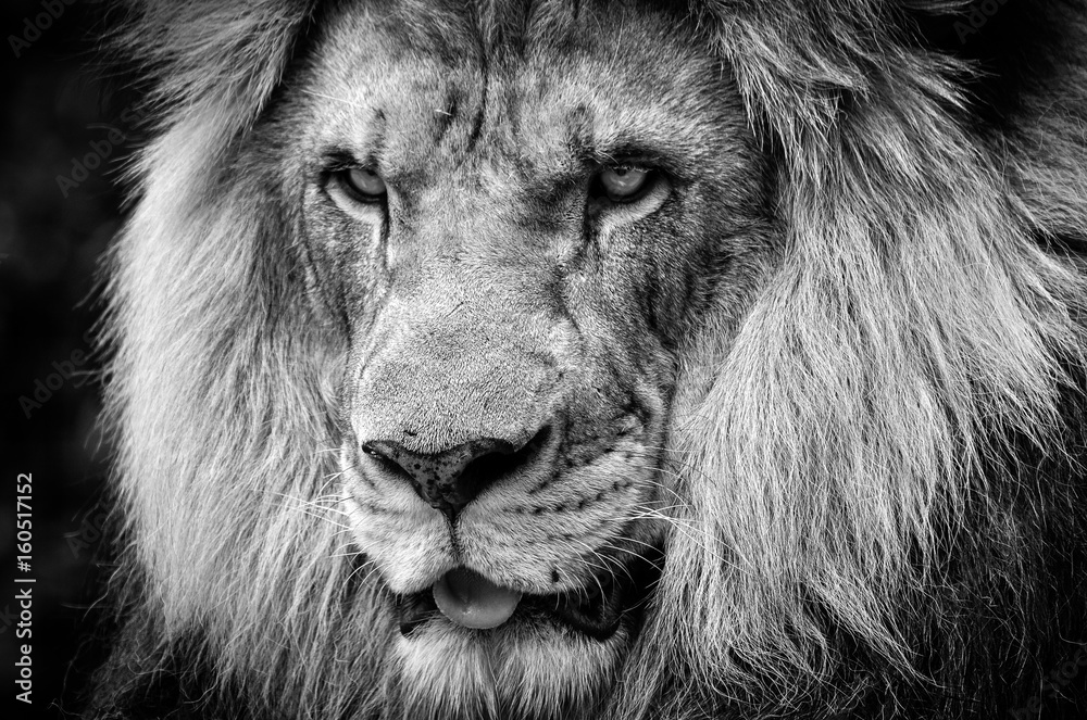 Fototapeta Ferocious stare of a powerful male African lion in black and white