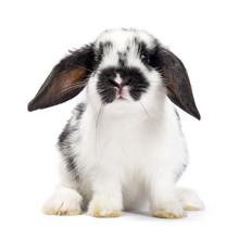 Black And White Baby Bunny Sitting Isolated On White Background