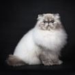 Tabby point Persian cat sitting side ways isolated on black background facing the camera