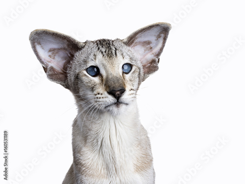 Fototapeta Adult Siamese cat sitting straight up on a white background looking to the side