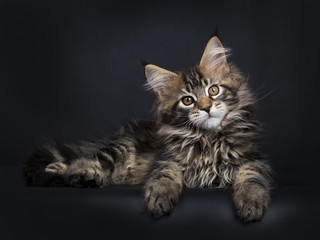 Fototapeta na wymiar Black tabby Maine Coon kitten (Orchidvalley) laying isolated on black background looking at camera