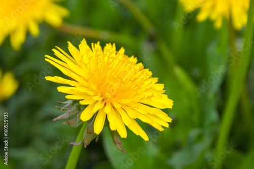 Keuken foto achterwand Paardebloem Close up of blooming yellow dandelion flowers