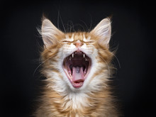 Head Shot Of Yawning Red Tabby Maine Coon Kitten (Orchidvalley) Isolated On Black Background