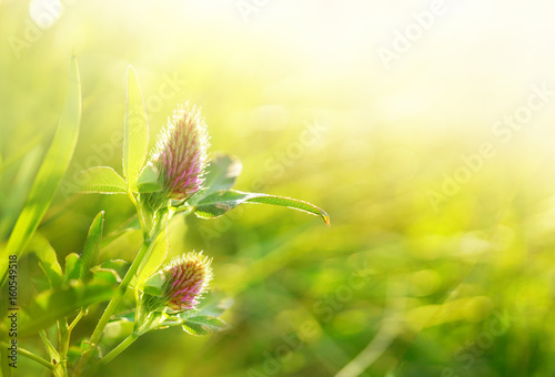 Natural floral background pattern with meadow flowers of clover in the sun. Clover flowers close-up on a gold background glow in the sun.