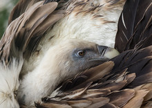 Side View Of Head Of Griffon Vulture Preening Feathers