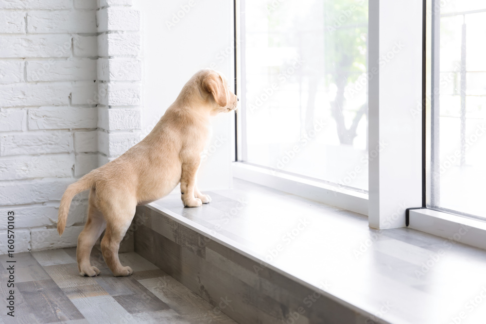Fototapety, obrazy: Cute Labrador puppy looking outside