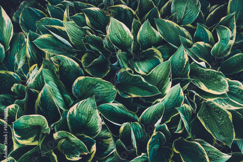 Obraz na plátně  Green Hosta Leaves