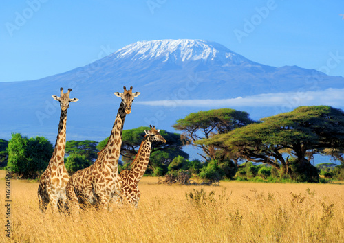 Three giraffe in National park of Kenya Canvas Print